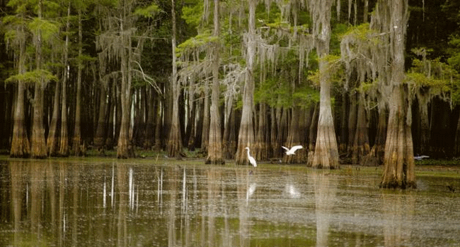 Cypress trees and pelicans in the Atchafalaya Basin
